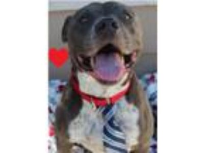 Adopt Nicholas a Gray/Silver/Salt & Pepper - with White American Staffordshire