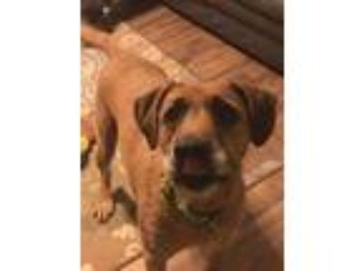 Adopt Solomon a Tan/Yellow/Fawn Rhodesian Ridgeback / Irish Wolfhound / Mixed
