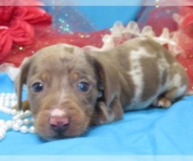 Dachshund PUPPY FOR SALE ADN-122372 - ALL COLORS AVAILABLE