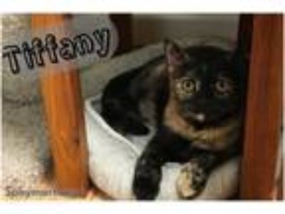 Adopt Tiffany a Domestic Short Hair, Tortoiseshell