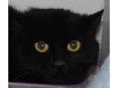 Adopt Mila Jean a All Black Domestic Shorthair / Domestic Shorthair / Mixed cat