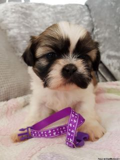 *Very Adorable M&F #pure breed #Shihtzu vet checked #Puppies** availa