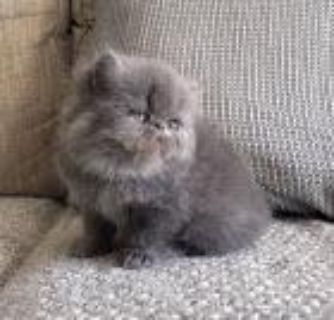 Excellent Persian Kittens Available