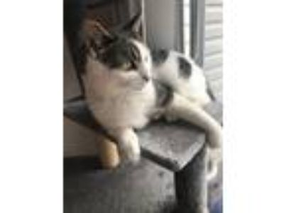 Adopt Orla a Brown Tabby Domestic Shorthair / Mixed (short coat) cat in