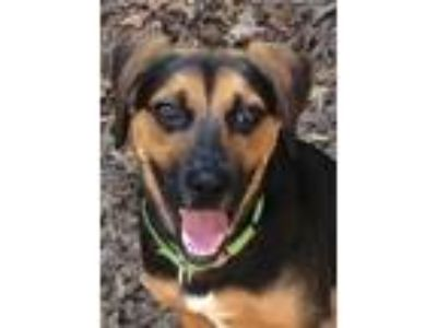 Adopt Jasper a Black - with Tan, Yellow or Fawn Hound (Unknown Type) / Mixed dog