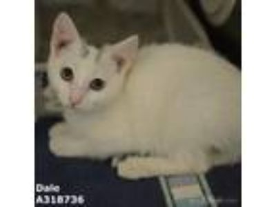 Adopt DALE a White (Mostly) Domestic Shorthair / Mixed (short coat) cat in