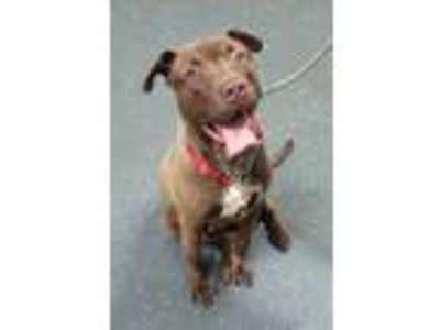 Adopt CHASE 38079 a Labrador Retriever, Pit Bull Terrier