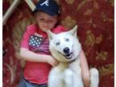 Adopt Sophie a White Husky / Great Pyrenees / Mixed dog in Greeneville