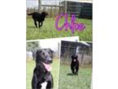 Adopt Chloe the Black Lab a Labrador Retriever