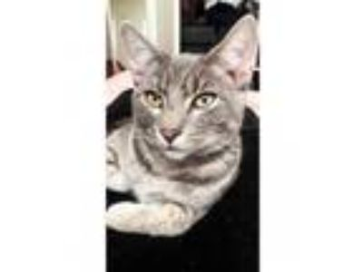 Adopt Margot a Gray, Blue or Silver Tabby Domestic Shorthair cat in Memphis