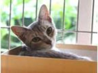 Adopt 41785030 a White Domestic Shorthair / Domestic Shorthair / Mixed cat in