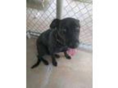 Adopt Lucy a Black Labrador Retriever / Mixed dog in Huntsville, TX (23115773)