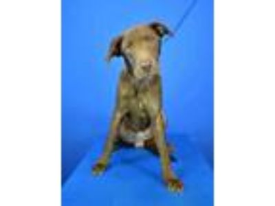 Adopt (found) Dakota a Brown/Chocolate Labrador Retriever / Mixed dog in Cabot