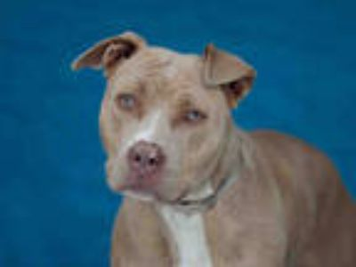 Adopt LAURA LYNN a Brown/Chocolate American Pit Bull Terrier / Mixed dog in