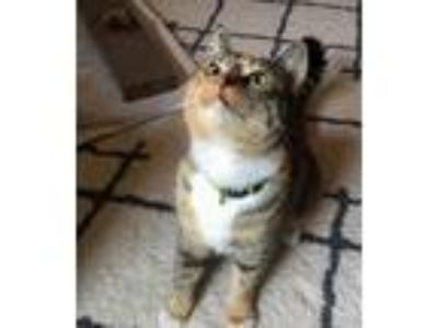 Adopt Lali a Brown Tabby Domestic Shorthair / Mixed (short coat) cat in Los