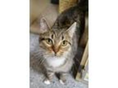 Adopt Nellie a Brown Tabby Domestic Shorthair (short coat) cat in Michigan City