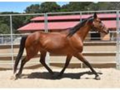 Adopt Gallant Leeza a Thoroughbred / Mixed horse in Monterey, CA (19517506)