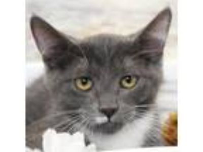 Adopt Todd a Gray or Blue (Mostly) Domestic Shorthair / Mixed (short coat) cat