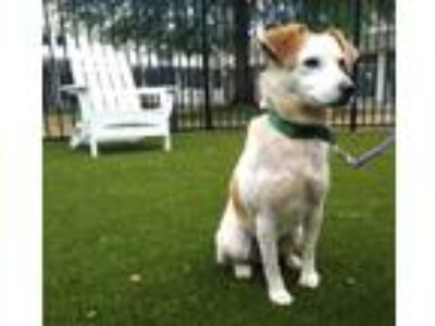 Adopt Penelope a Jack Russell Terrier / Beagle / Mixed dog in Charlottesville