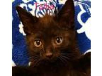 Adopt Tailia Kitten a Black (Mostly) Japanese Bobtail / Mixed (short coat) cat