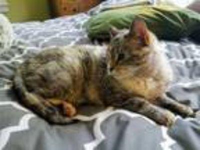 Adopt Sophie a Tabby, Siamese