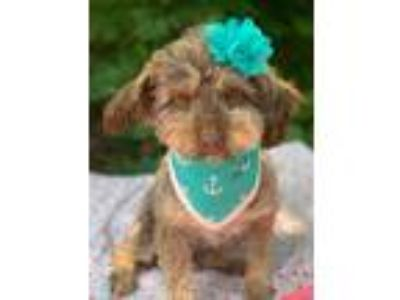 Adopt Jasmine a Brown/Chocolate - with Tan Havanese / Mixed dog in Springfield