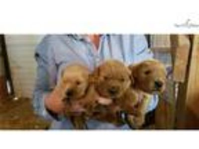 AKC Dark Red Golden Retriever Puppy