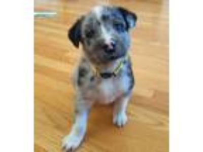 Adopt *KitKat* Puppy a Australian Cattle Dog / Blue Heeler
