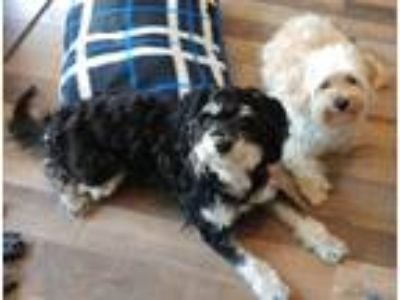 Adopt Chappie bonded with Abu a Black - with White Shih Tzu / Mixed dog in Bucks
