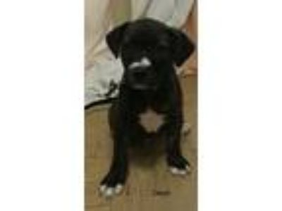 Adopt Dash. (I m in foster care) a Brindle Boxer dog in Papillion