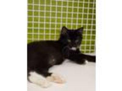 Adopt sara a Black & White or Tuxedo Domestic Shorthair (short coat) cat in