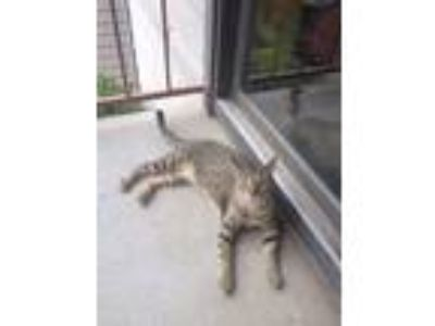 Adopt Shambles a Gray, Blue or Silver Tabby Domestic Shorthair / Mixed cat in