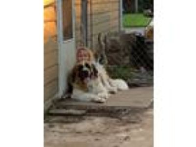 Adopt Ares a White - with Tan, Yellow or Fawn St. Bernard / Great Dane dog in