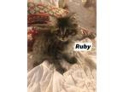 Adopt Ruby a Maine Coon