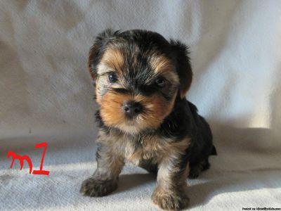yorkies for sale akc
