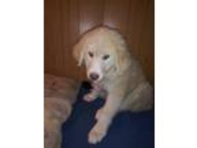 Adopt Candy a Tan/Yellow/Fawn Golden Retriever / Mixed dog in Harbor City