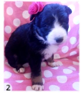 Border Collie PUPPY FOR SALE ADN-107964 - BORDER COLLIE CHRISTMAS PUPPIES IN ARIZONA