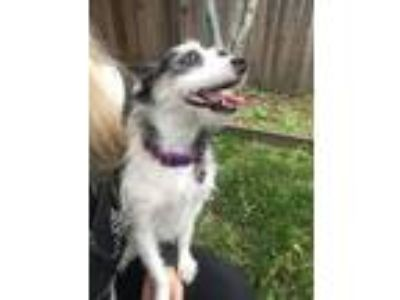 Adopt MOLLY*Miss Personality Plus! a Jack Russell Terrier