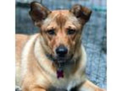Adopt Buffy - In Foster a Tan/Yellow/Fawn Mixed Breed (Medium) / Mixed dog in
