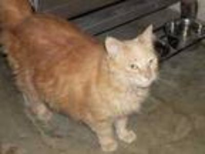 Adopt Peaches (Fluffy) Cocoa Adoption Center) a Orange or Red Domestic Longhair