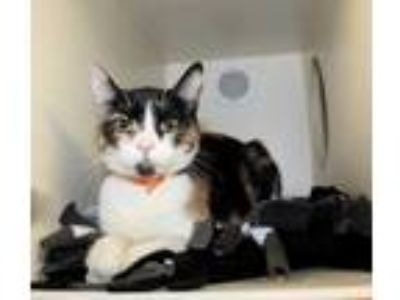 Adopt Buttercup a White Domestic Shorthair / Domestic Shorthair / Mixed cat in