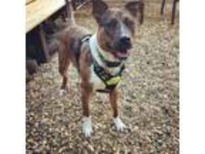 Adopt Bandit a American Staffordshire Terrier, Pit Bull Terrier