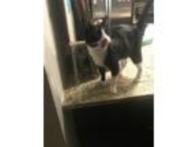 Adopt Jim beaux a Black & White or Tuxedo Domestic Mediumhair / Mixed cat in