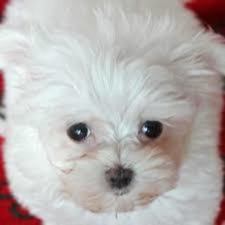 Maltese PUPPY FOR SALE ADN-98479 - Maltese Puppy ReHoming NOW