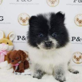 Pomeranian PUPPY FOR SALE ADN-77044 - Pomeranian Jason male