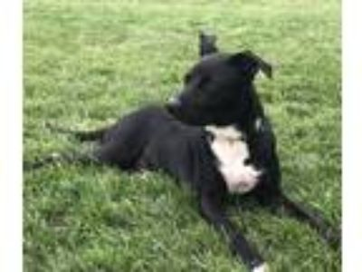 Adopt Jessie a Black - with White Border Collie / Labrador Retriever / Mixed dog