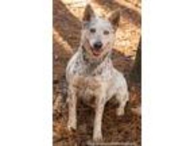Adopt Grayson a White - with Gray or Silver Australian Shepherd / Hound (Unknown