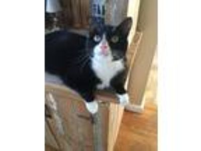 Adopt Lugnut a Black & White or Tuxedo Domestic Shorthair / Mixed cat in Mount