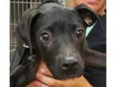 Adopt GAC#63-may19 a Black Boxer / Mixed dog in Gadsden, AL (25908041)
