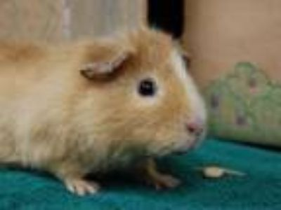 Adopt Louise a Guinea Pig small animal in Portland, OR (25309014)